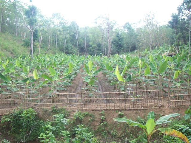 Banana plantation at Pankav for the welfare of tribal community